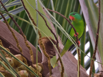Red-chinned Lorikeets